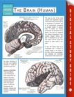 The Brain (Human) (Speedy Study Guides) - eBook