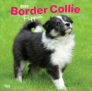 Border Collie Puppies 2020 Square Wall Calendar - Book