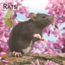 Rats 2020 Square Wall Calendar - Book