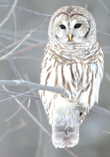 Snow Owl Boxed Holiday Half Notecards, Cards Book
